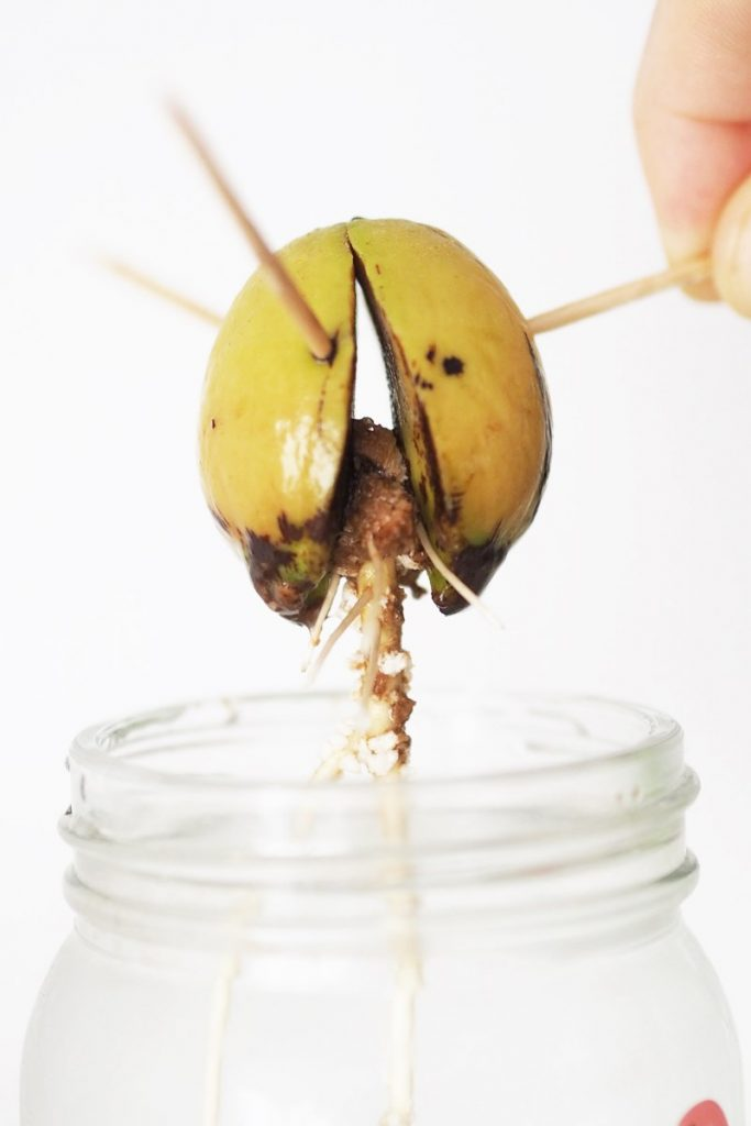 Avocadokern züchten, Avocadobaum züchten, magnoliaelectric, DIY, urbanjungle, grow avocado tree, grow avocado from seed